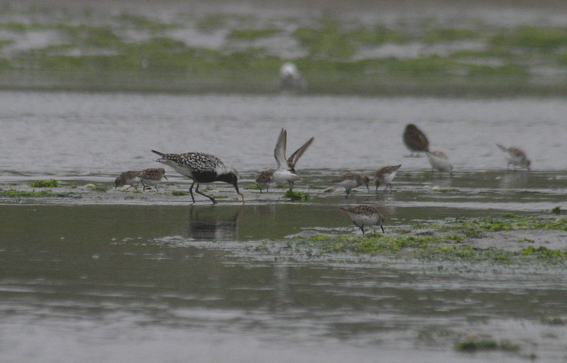 Black-bellied plover with smaller sandpipers. I'm really bad at identifying sandpipers! They could have been semi-palmated or least sandpipers, judging from the size.