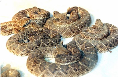 THE ANNUAL BROWNWOOD  JAYCEES RATTLESNAKE ROUND UP
