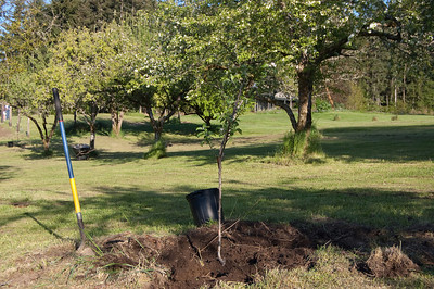 The Zimmer Family Apple Tree (spartan)