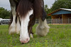 "Boots the Clydesdale <a href=""http://wklein.smugmug.com/Events"">http://wklein.smugmug.com/Events</a>"