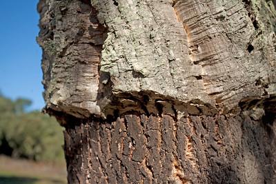 quercia da sughero nei pressi di Su Romanzesu