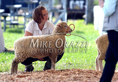 8/26/2017 Mike Orazzi | Staff Mackenzie Joray shows a sheep at the Terryville Lions County Fair Saturday morning.
