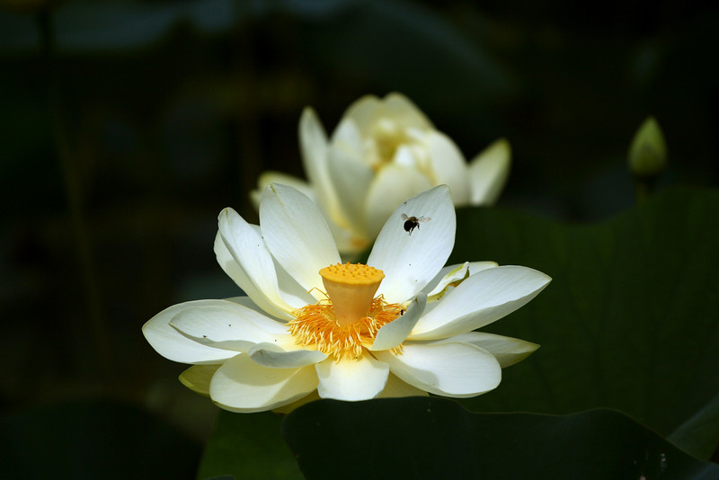 Lotus /  Water Lilly <br /> © Pamela Stover<br /> Exposed Images Photography