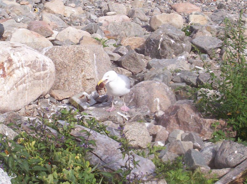 A sea gull's best meal, crab!