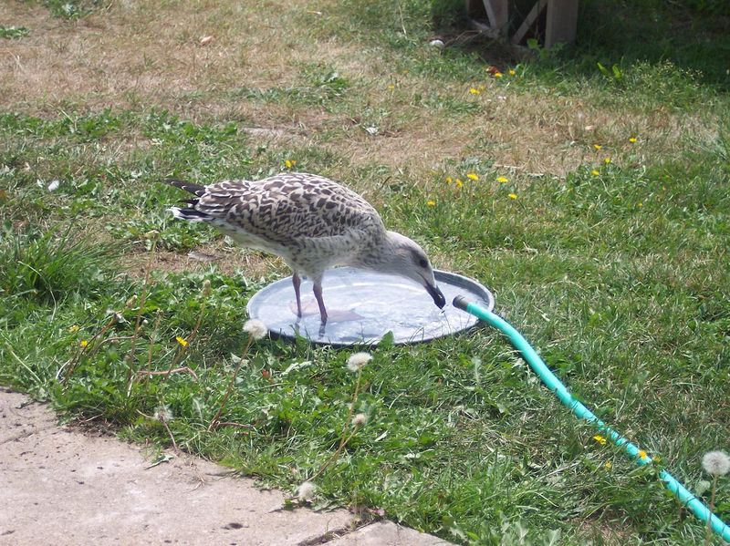 """""""Waterboy"""" Keeper John's trained seagull youth. Drinks from the hose!"""