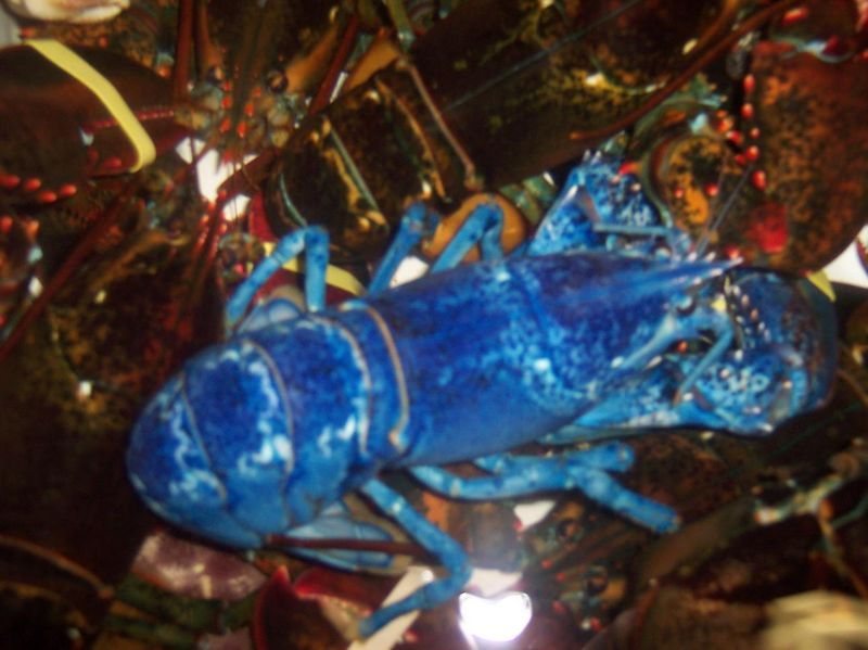 Now, that is a blue lobster!