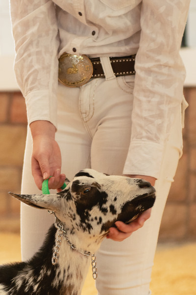 Matthew Gaston | The Sheridan Press<br>Jersey DeHaven hods her goats head up so judge Lorelei Hallock can get a better look during the Senior Dairy Goat Showmanship event at the Sheridan County Fair Saturday, Aug. 3, 2019.