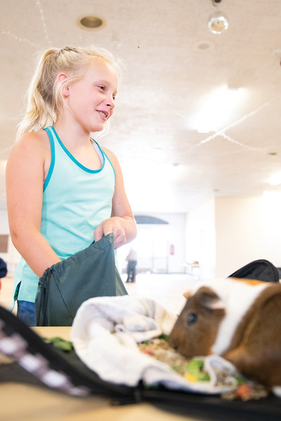 Matthew Gaston | The Sheridan Press<br>Taylor Music, 11, prepares her guinea pig, Brownie, for judging during the Pocket Pet Show Tuesday, July 30, 2019.