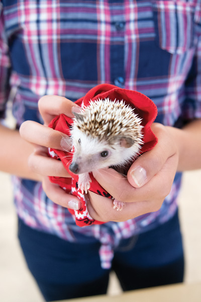 Matthew Gaston | The Sheridan Press<br>Ten-year-old Avery Nikirk's hedgehog Spike stole the show during the judging for the Pocket Pet Show Tuesday, July 30, 2019.