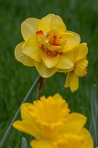2019-Daffodil Festival-1