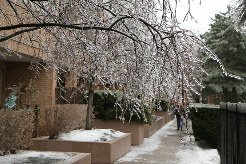 Dec. 22/13 - The day after the Toronto ice storm (look who's coming down the breezeway)