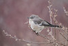 N.Mockingbird , Toronto 1 Dec. 2012