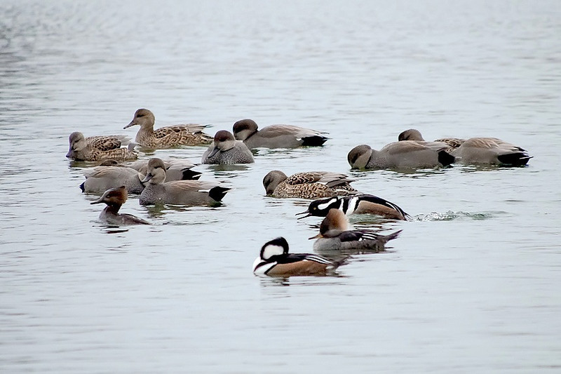Hoodies and Gadwall , Toronto 1 Dec. 2012