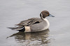 N.Pintail , Toronto 1 Dec. 2012