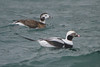 Long-tailed Ducks , Toronto 1 Dec. 2012
