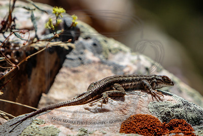 Common Sagebrush Lizard above BCC's S-Turn