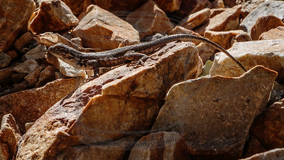 Common Sagebrush Lizard