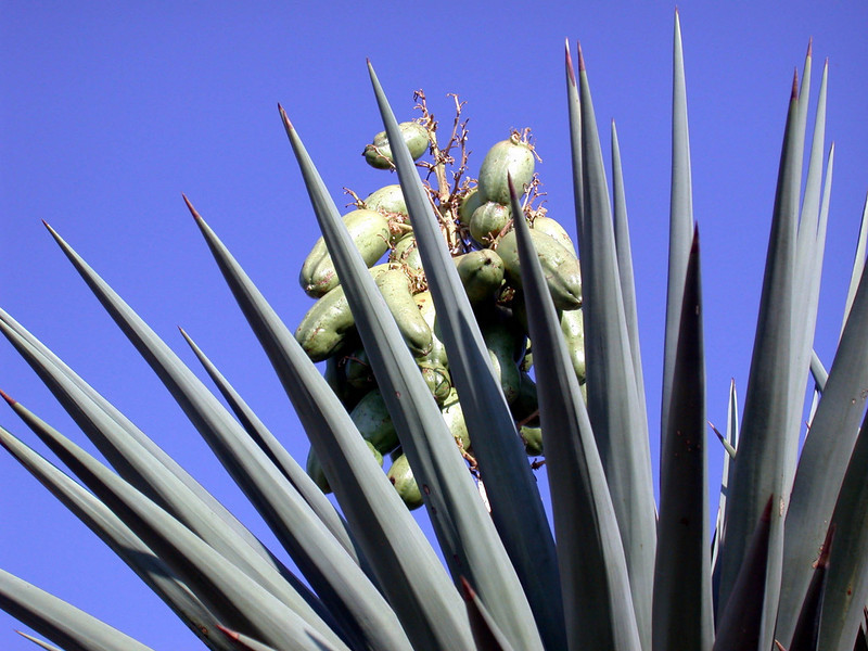 2002 Seeds of Success training class in Tucson, Arizona. Yucca spp. with seed pods.  Photo by Olivia Kwong.