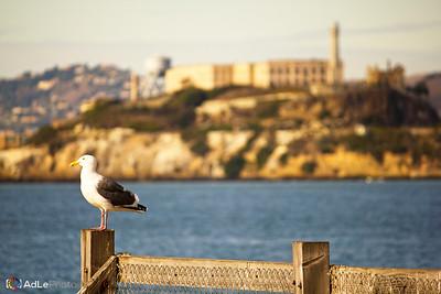Seagull in front of Alcatraz