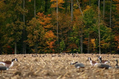 Decoys in the foreground...and the geese on the other side of the field.