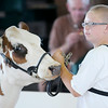 Don Knight | The Herald Bulletin<br /> Jeron Mason, 11, shows one of his four dairy calves during Tuesday's dairy show at the 4-H Fair on Tuesday in Alexandria.