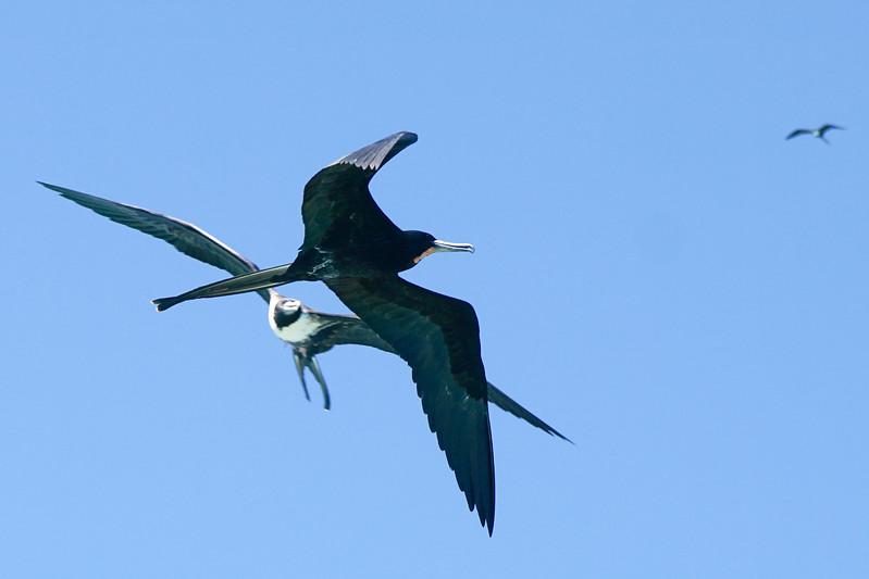 Frigate birds flying
