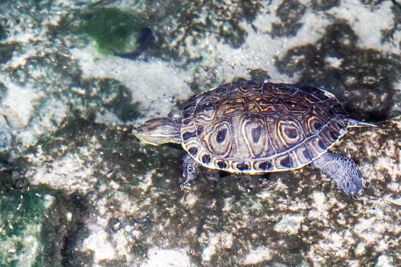 Turtle in Gran Cenote
