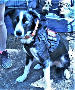Free service dogs for vets