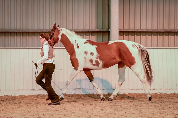 Class 15 (Pure Saddlebred - Senior)