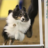 NAC_Day1_12Warmups_Sheltie2