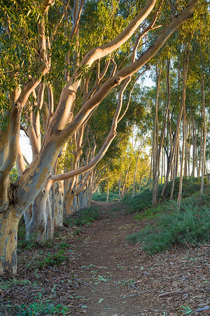 Eucalyptus Trees at Sunset