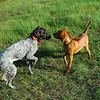 """Jubilee's Absolute Autumn Punch """"Tessa"""" playing with vizsla (Photo by Dagmar Nelson)"""