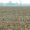 Cotton on the ground after disc is pulled through field to prepare for winter wheat.