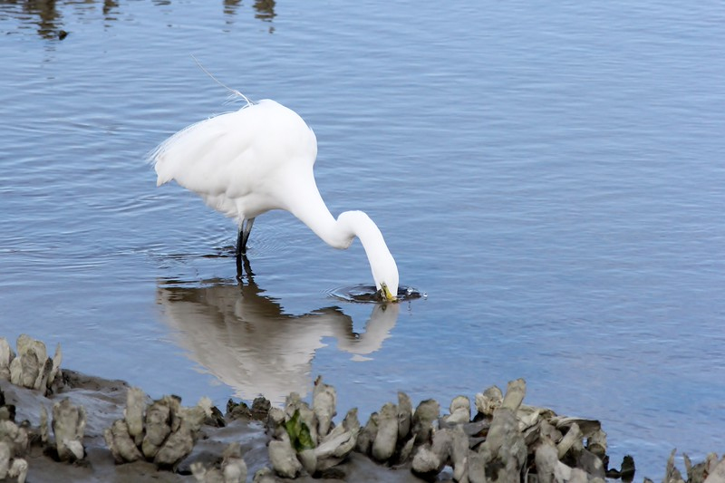 White Egret fishing, little droplets