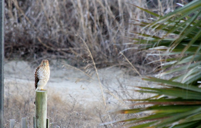 Hawk in the Dunes!