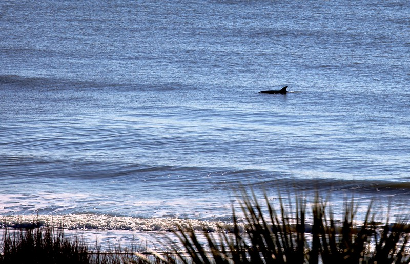 Dolphin near the beach