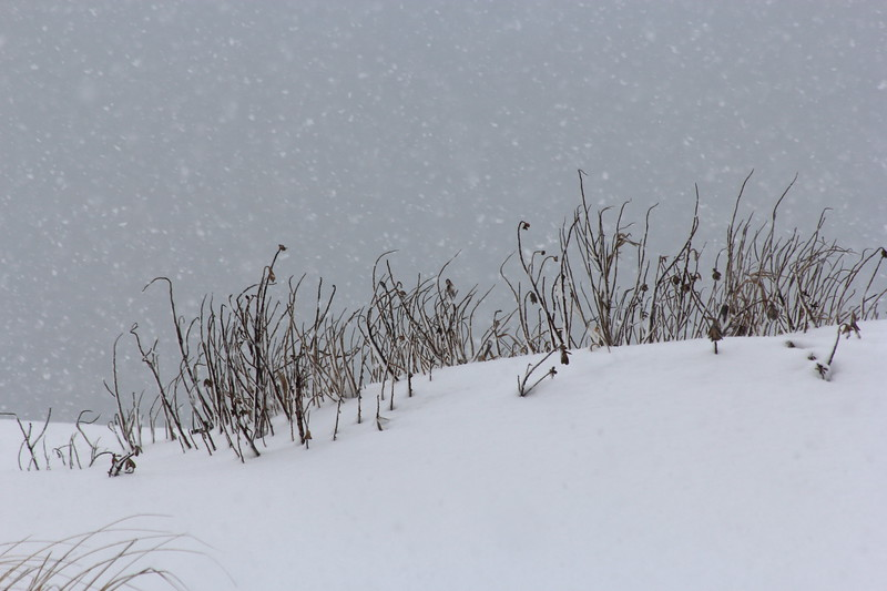 Sea grass on the snow dunes during the storm