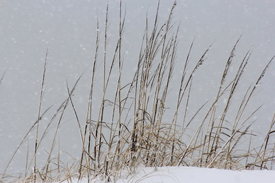 Sea grass on the snowy dunes