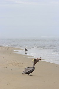 Pelican with a crab!