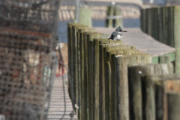 Kingfisher hanging out at the docks