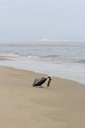 Pelican with a crab