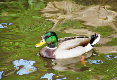 Duck Val Vista 867