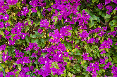 bougainvilla at Val Vista 930