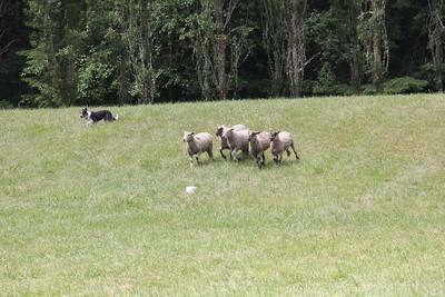 2017 Vashon Sheepdog Classic