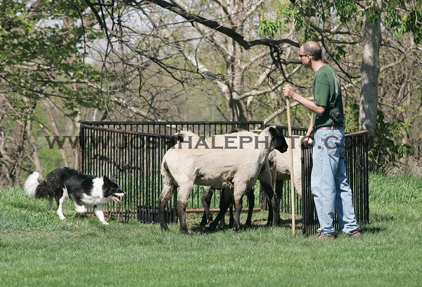 Chris Mease, assisted by his dog Wizard, concludes a sheep herding demonstration by pinning the sheep as part of the College of Veternary Medican Veishea Celebration on Saturday, April 22, 2006.