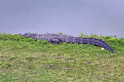 Alligator and golf ball at Mainland Golf Course