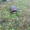 Turtle by recycle bin