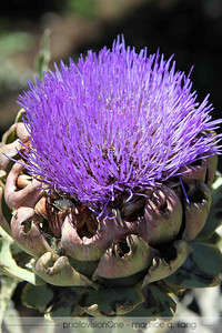 Artichoke in bloom.