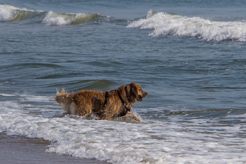 Dog Playing in Surf