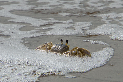 Ghost Crab in Waves